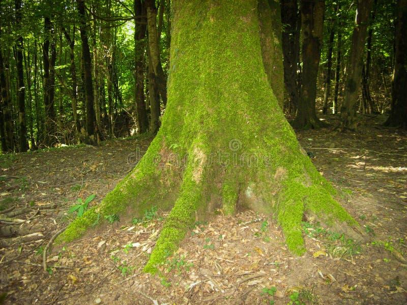 boomstam bedekt met groene mos met groene boom royalty-vrije stock afbeelding