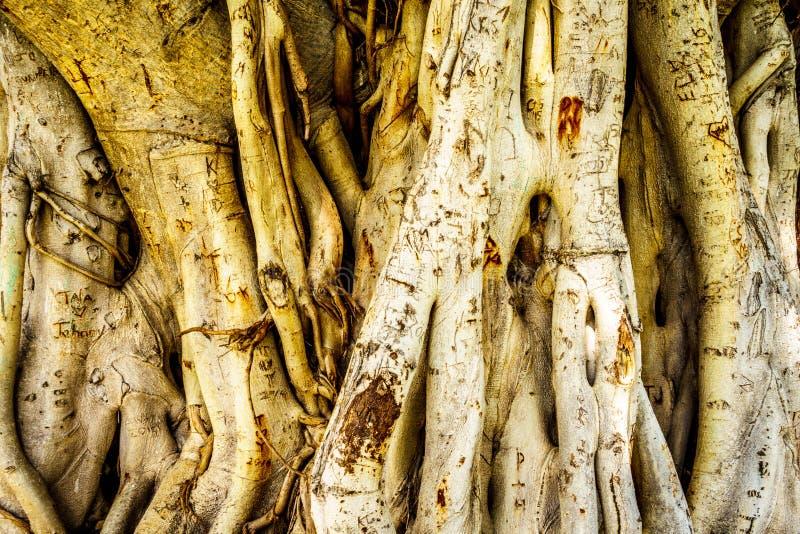 Boomstam en luchtwortels van een Banyan-Boom met namen wordt gesneden die royalty-vrije stock foto's