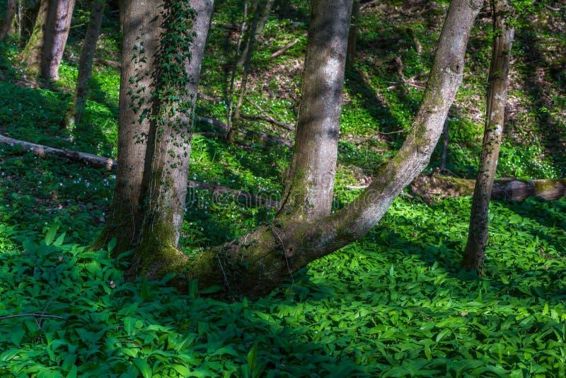 Boomstam en wild knoflook in het bos stock afbeeldingen
