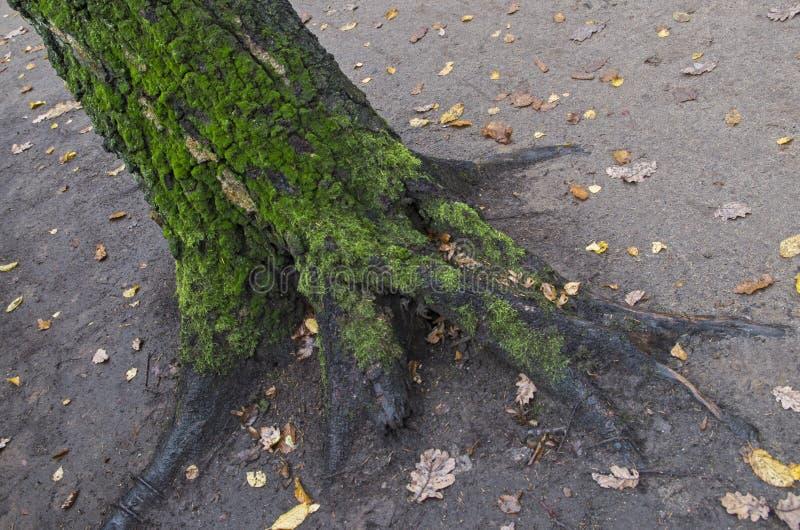 boomstam met donkergrijze schors, overgeteeld met groene zachte mos en bloemvormige wortels boven de grond, zoals geplateerde pot stock fotografie