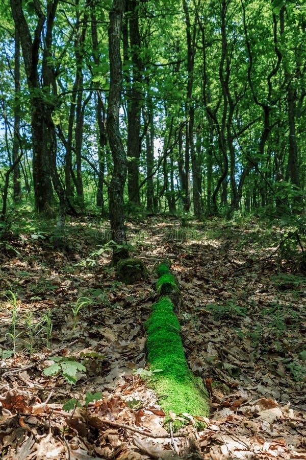 Boomstam met mos wordt behandeld die op gevallen bladeren in het groene bos liggen dat royalty-vrije stock foto