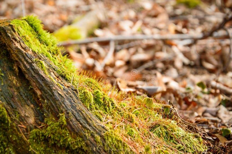 Boomstam overgroeid met bloeiende groene mos stock foto's