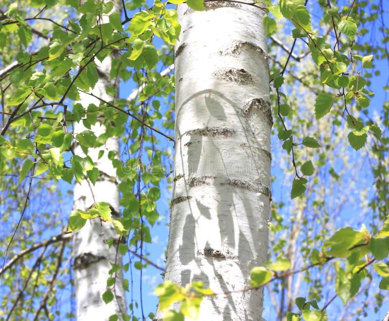 Boomstam van berkboom met mooie berkeschorsclose-up op hemelachtergrond stock afbeeldingen