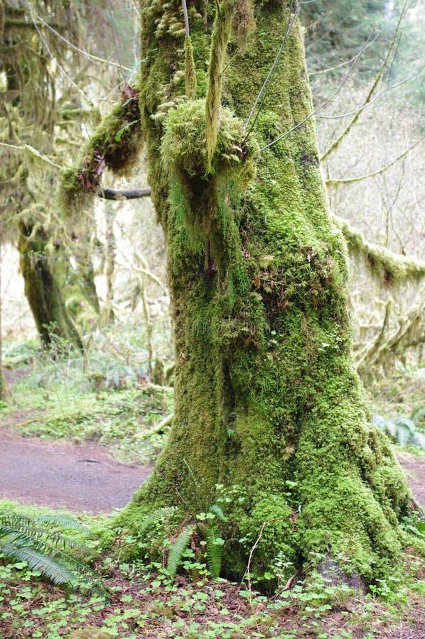 Boomstam van een boom met mossen wordt behandeld dat stock afbeeldingen