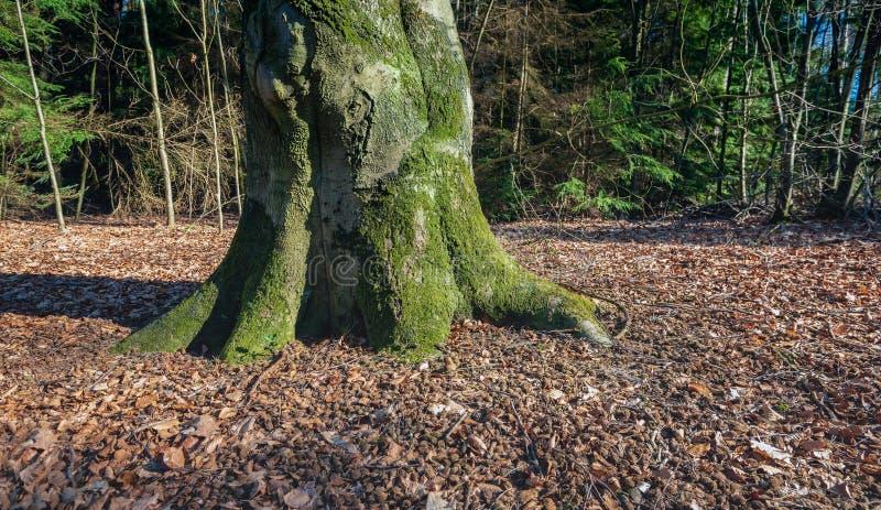 Boomstam van een oude beukboom in een bos royalty-vrije stock foto's