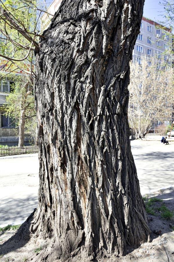 Boomstam van een oude die boom, met rimpels wordt behandeld stock foto's