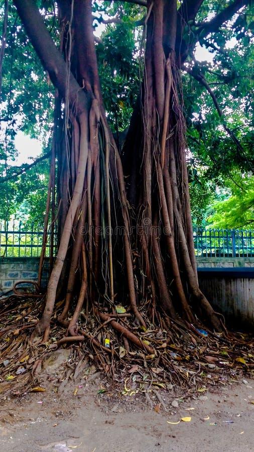 Boomstam van een zeer oude banyan boom royalty-vrije stock fotografie