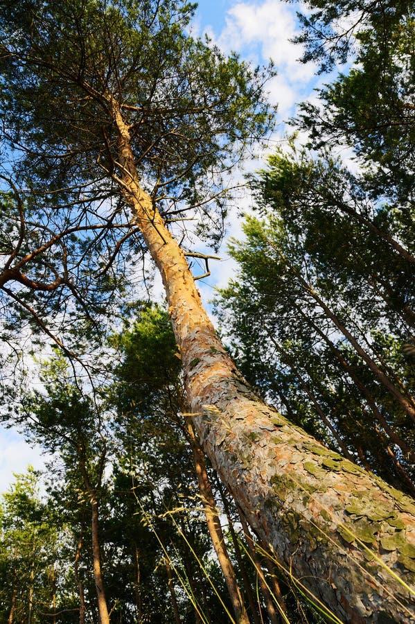 Boomstam van het Scots of Schotse pijnboompinus sylvestrisboom groeien in bos stock foto's