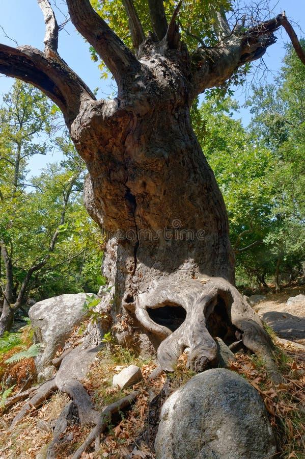 Boomstam van oude de groeiboom stock afbeelding