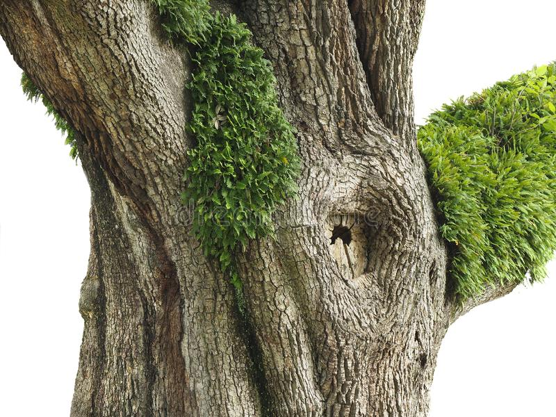 Boomstam van Reusachtig Live Oak Tree die met Verrijzenisvarens op het groeien stock afbeeldingen
