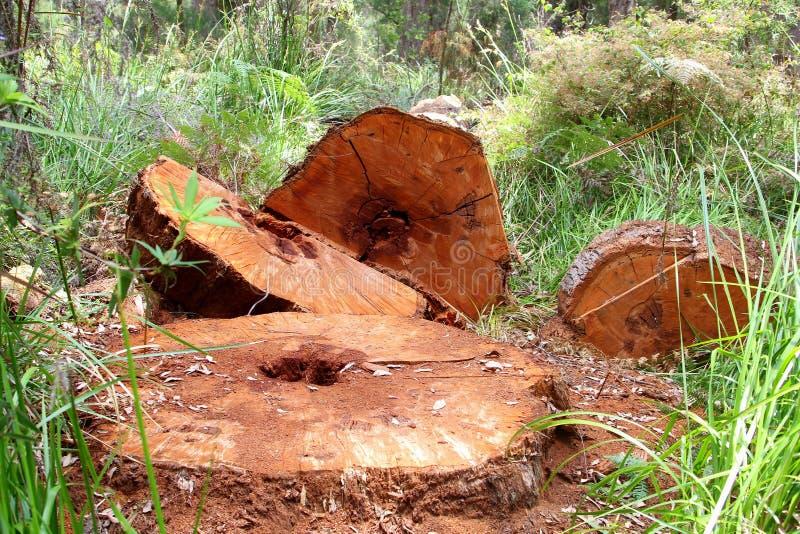 Boomstammen van de Reuze Rode Tinteling, Westelijk Australië stock foto