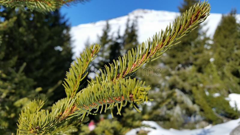 Boomtak in het sneeuwbos stock fotografie