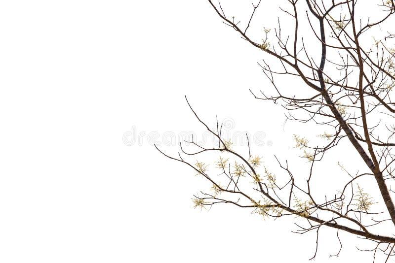 Boomtak met kleine gele die bloem op witte achtergrond wordt geïsoleerd stock foto's