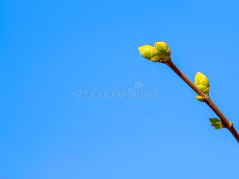 boomtak met knoppen die tegen een blauwe hemel groeien royalty-vrije stock fotografie