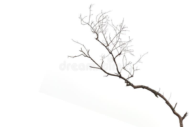 Boomtak zonder blad op wit wordt geïsoleerd dat stock afbeelding