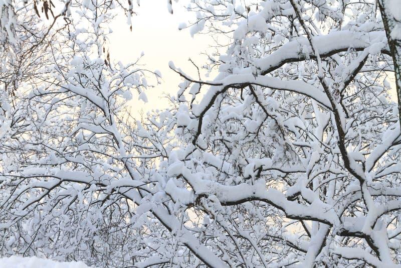 Boomtakken en met sneeuw stock afbeeldingen