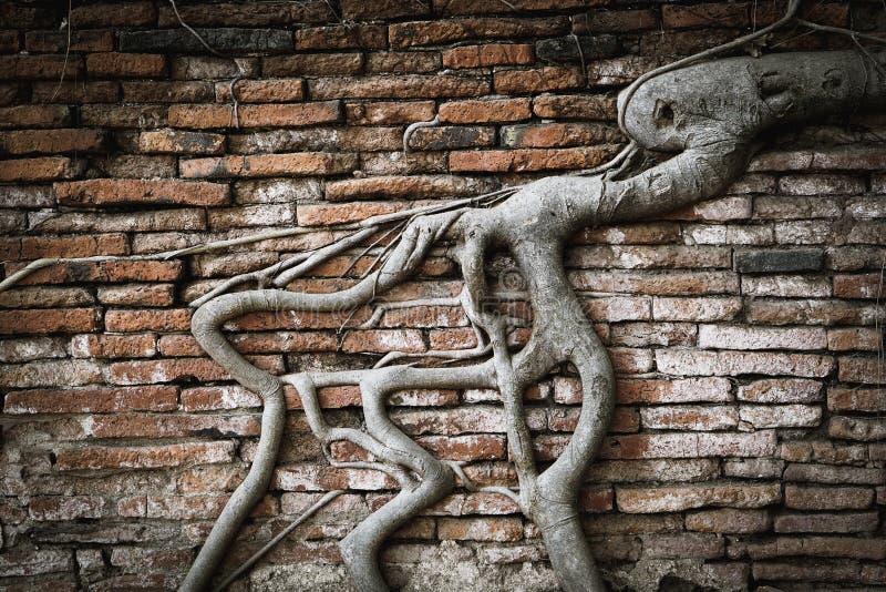 Boomwortel in bakstenen muur royalty-vrije stock afbeelding