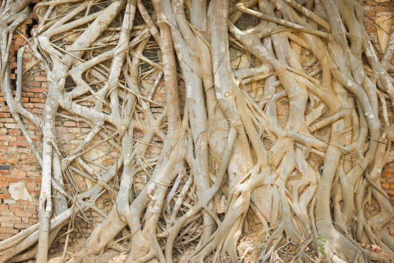 Boomwortel die de oude bakstenen muur in Tempel, Thailand behandelen royalty-vrije stock foto's
