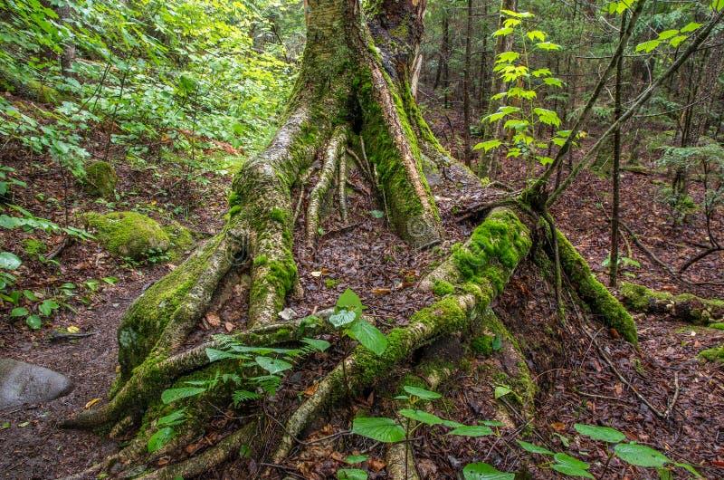 Boomwortels die over een grote mos behandelde rots groeien royalty-vrije stock afbeeldingen