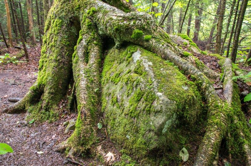 Boomwortels die over een grote rots groeien stock fotografie