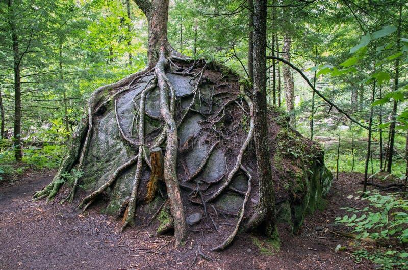 Boomwortels die over een rots groeien royalty-vrije stock foto