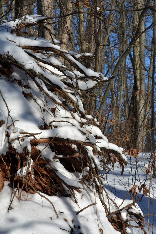 Boomwortels met sneeuw worden behandeld die stock foto
