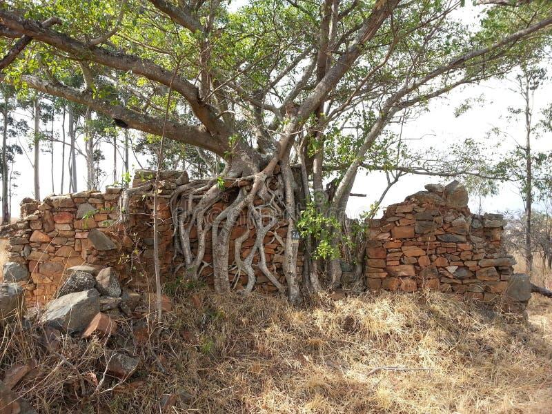 Boomwortels over het kweken van een muur royalty-vrije stock afbeeldingen