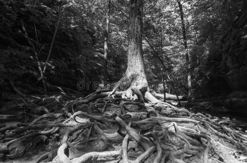 Boomwortels in zwart-wit stock afbeelding