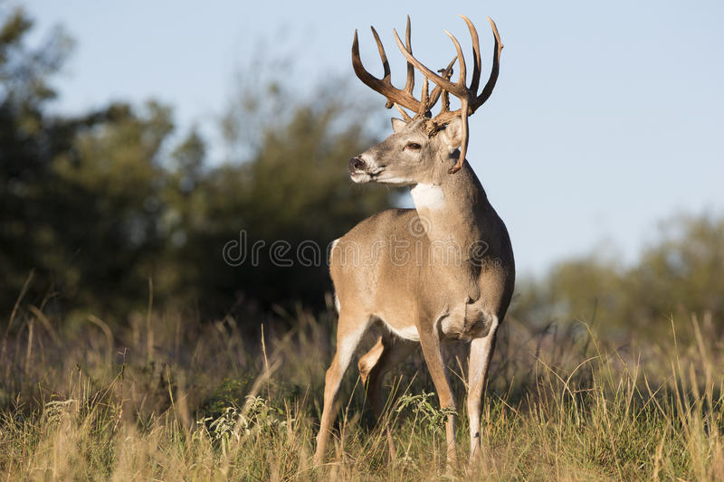 Download Boone And Crockett Drop Tine Buck Stock Photo - Image of fawn, chasing: 37948854