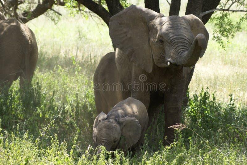 Boos olifantsmamma en haar baby royalty-vrije stock fotografie