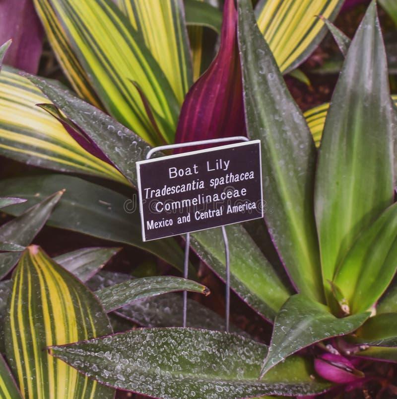 Boot Lily Plant stockbilder