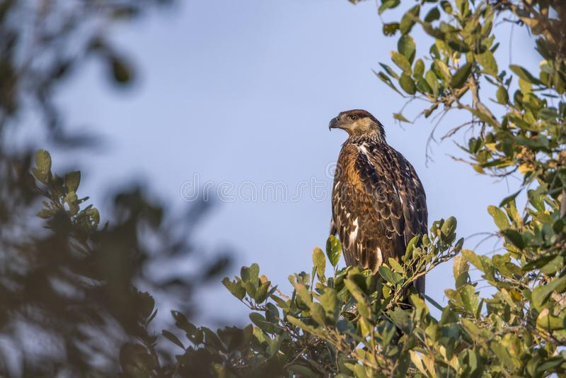 Booted орел в национальном парке Kruger, Южной Африке; стоковое фото rf