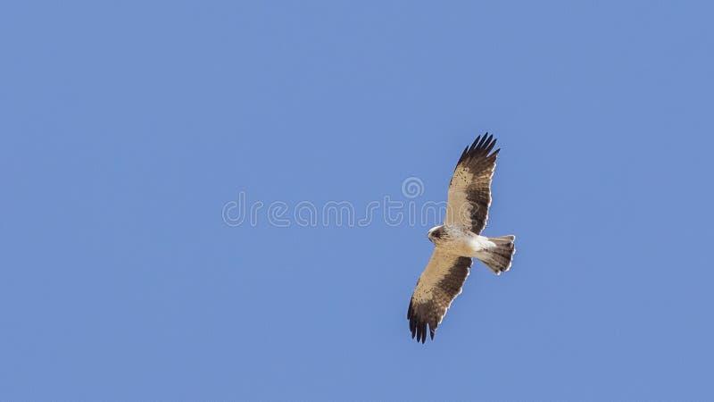 Booted орел в полете стоковые фото