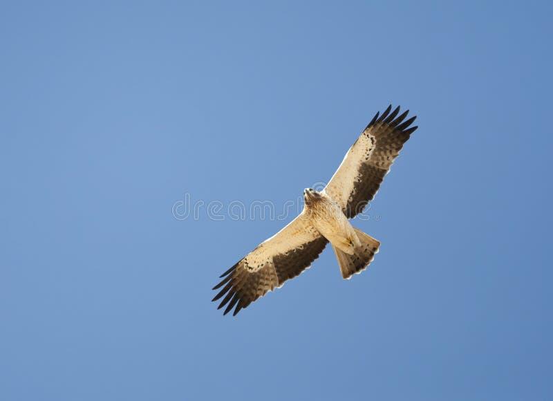 Booted орел, Dwergarend, pennatus Hieraaetus стоковое изображение