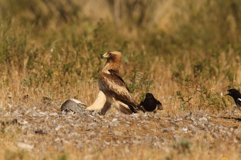 booted орел стоковые изображения rf