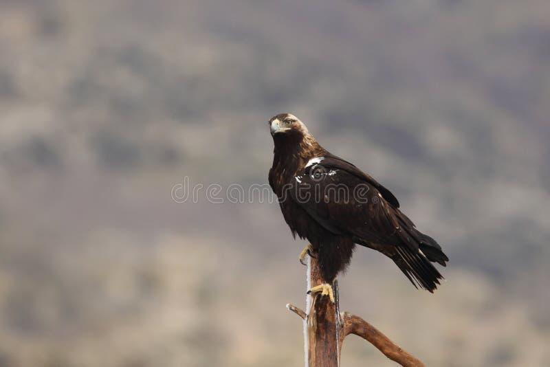 booted орел стоковое изображение rf