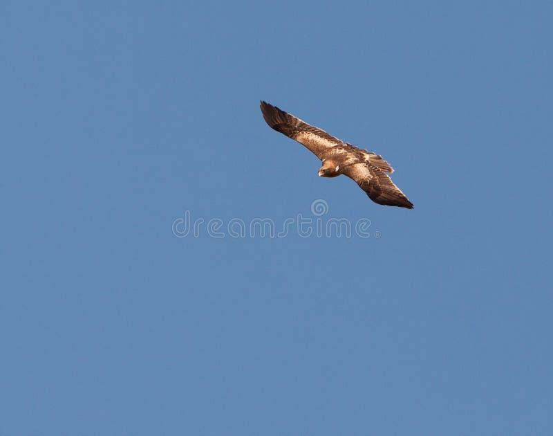 booted полет орла быстро стоковая фотография