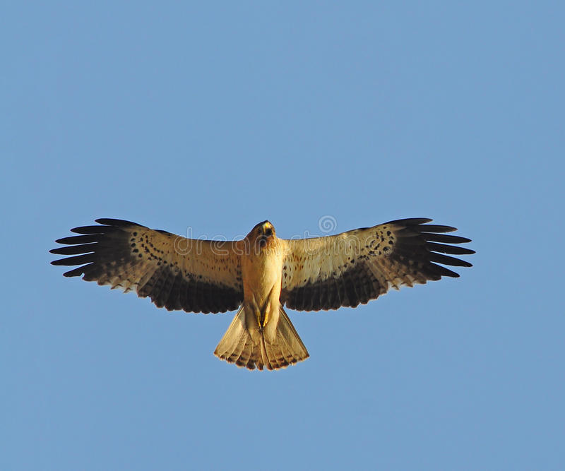 Booted eagle stock image