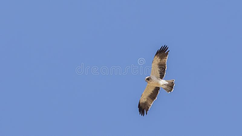 Booted Eagle in Flight stock photos