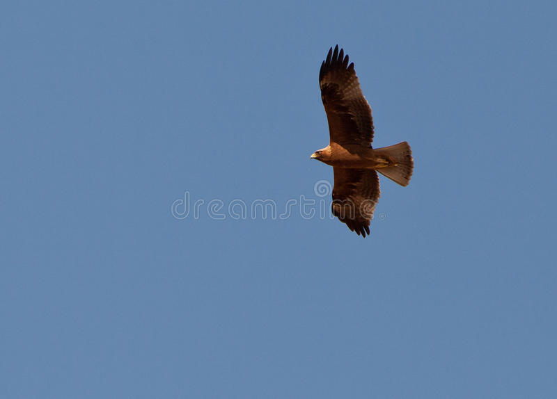A Booted Eagle hovering in a blue sky. As most raptors this Booted Eagle (Aquila pennata) knows how to safe it´s energy by hovering with the help of the warm stock image
