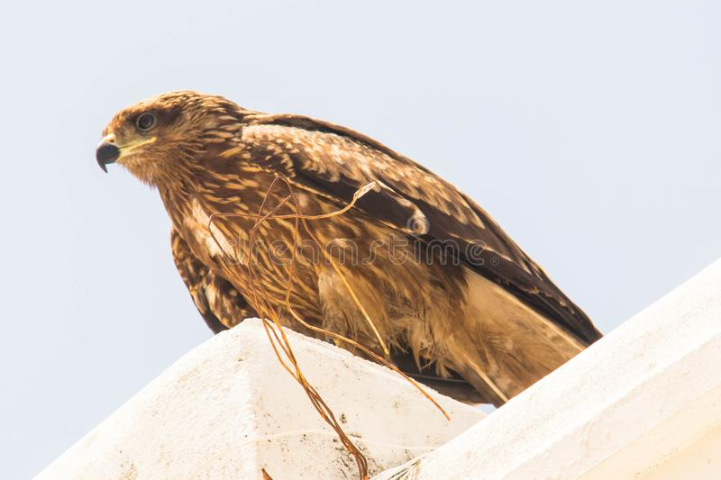 Booted Eagle stock images