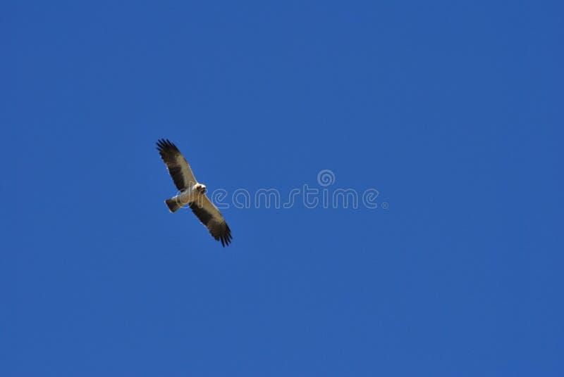 Booted inmerse орла в бесконечном небе стоковые фото