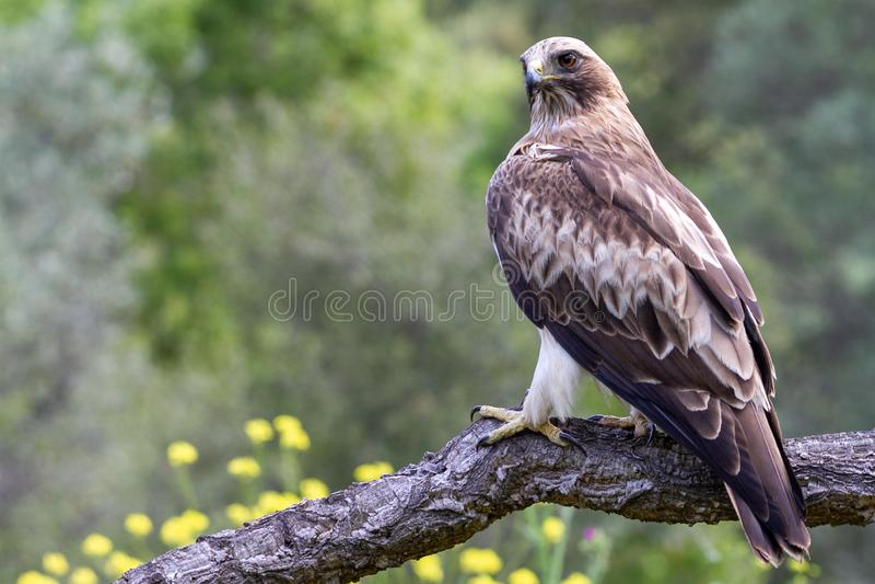 Booted pennatus в природе, Испания Hieraaetus орла стоковое фото