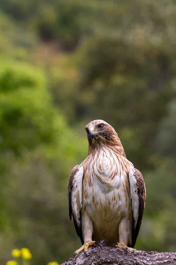 Booted pennatus в природе, Испания Hieraaetus орла стоковые изображения
