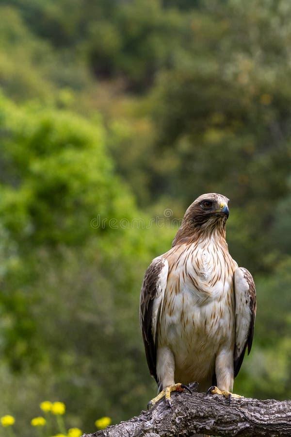 Booted pennatus в природе, Испания Hieraaetus орла стоковое изображение