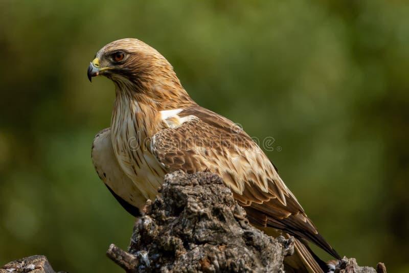 Booted pennatus в природе, Испания Hieraaetus орла стоковые фотографии rf