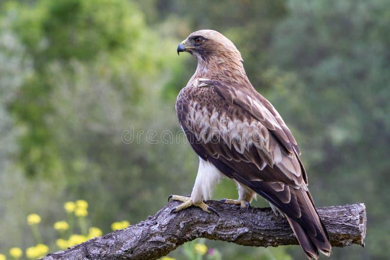 Booted pennatus в природе, Испания Hieraaetus орла стоковая фотография rf