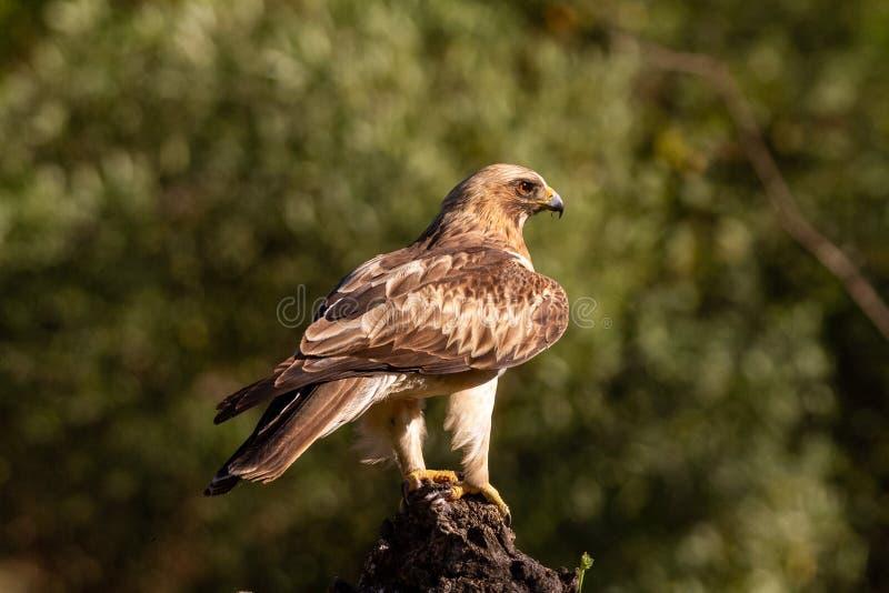 Booted pennatus в природе, Испания Hieraaetus орла стоковое изображение rf