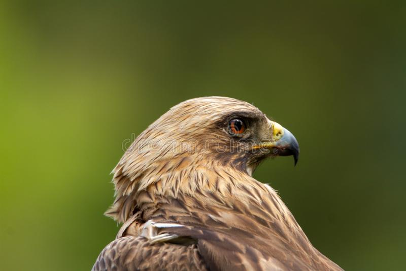 Booted pennatus в природе, Испания Hieraaetus орла стоковое фото rf