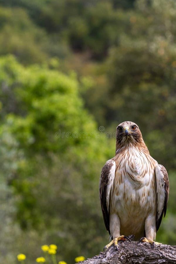 Booted pennatus в природе, Испания Hieraaetus орла стоковые изображения rf